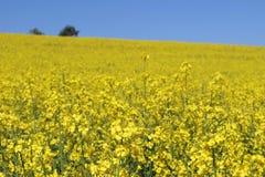 美好的含油种子强奸,芸苔napus开花 金黄进展的rapessed领域和蓝天在晴天 农村 图库摄影
