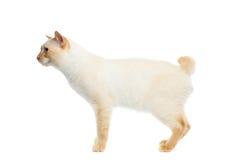 美好的品种湄公河短尾的猫隔绝了白色背景 库存照片