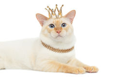 美好的品种湄公河短尾的猫隔绝了白色背景 图库摄影