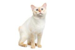 美好的品种湄公河短尾的猫隔绝了白色背景 免版税库存图片