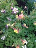 美好的哥伦拜恩室外野花绽放 库存照片