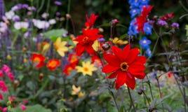 美好的在村庄花边界的红色开花的大丽花 免版税库存图片