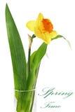 美好的在花瓶的春天唯一花:橙色水仙(Daffo 免版税库存照片