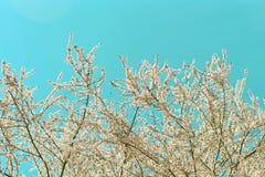 美好的在蓝天背景的春天开花的樱桃树与减速火箭的过滤器 库存图片