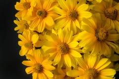美好的在黑背景的黄色开花的花 免版税图库摄影