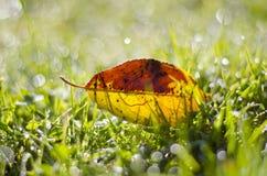 美好的在满地露水的草的夏天末端落的苹果树叶子 库存图片