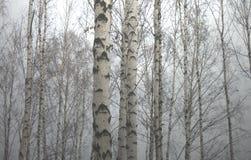 美好的场面在秋天桦树森林里在11月 免版税库存照片