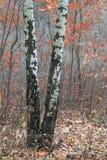 美好的场面在秋天桦树森林里在11月 免版税库存图片