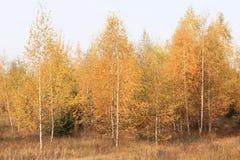 美好的场面在黄色秋天桦树森林里在与下落的黄色秋叶的10月 免版税库存图片