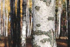 美好的场面在黄色秋天桦树森林里在与下落的黄色秋叶的10月 库存照片