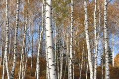 美好的场面在黄色秋天桦树森林里在与下落的黄色秋叶的10月 免版税库存照片