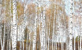 美好的场面在黄色秋天桦树森林里在与下落的黄色秋叶的10月 库存图片