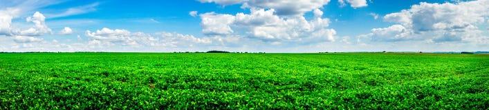 美好的培养的大豆领域在夏天 库存照片