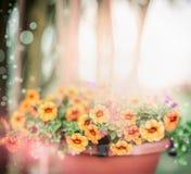 美好的夏天在室外夏天庭院背景的罐开花,室外 免版税库存图片