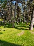 美好的夏天晴朗的风景在有针叶树、新鲜的纯洁空气和绿色高苗条树干的杉木森林里  库存照片