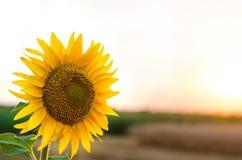 美好的夏天风景、向日葵和日落,自由空间 免版税库存图片