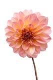 美好的大丽花粉红色 库存照片