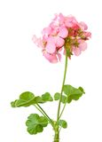 美好的大竺葵粉红色 图库摄影