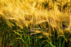 美好的大麦谷物领域 图库摄影