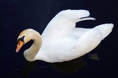 美好的天鹅游泳在水中和观看您 库存照片