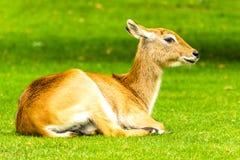 美好的女性lechwe 水羚属leche 免版税图库摄影