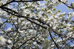美好的嫩反对蓝天,与空间的背景的春天自然樱花树枝文本的 库存照片