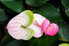 美好的安祖花或彩斑芋绽放在庭院里 发火焰的花 火鸟百合 免版税库存照片