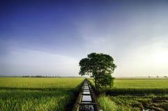 美好的宽看法黄色稻田早晨 蓝天 背景运河崩裂了浮动的绿色泥工厂水 免版税库存照片
