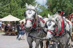 美好的对在俏丽的鞔具的被匹配的白马有许多的红色和马眼罩和拉铃索无盖货车在Renassiance Festiva 免版税库存图片