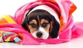 美好的小猎犬puppi褐色和黑色 免版税库存图片