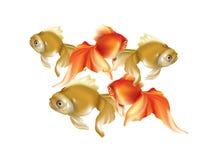 美好的小组金黄金鱼 免版税库存图片