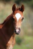 美好的少量摆在牧场地的星期年纪栗子驹 免版税图库摄影