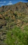 美好的山沙漠场面用柱仙人掌仙人掌 免版税库存图片