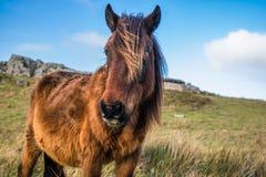 美好的巴斯克马pottok画象与风的在吃草的乡下山的头发在巴斯克国家,法国 库存照片
