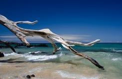 美好的干燥树和海浪在Puako靠岸,大岛,夏威夷。 库存照片