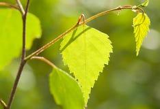 美好的年轻春天桦树分支 免版税库存图片