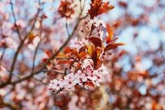 美好的开花樱桃粉红色 库存图片