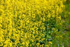 美好的开花的油菜籽领域在一个春日 免版税库存图片