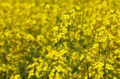 美好的开花的油菜籽领域在一个清楚的春日 免版税库存图片