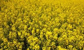 美好的开花的油菜籽领域 免版税库存图片
