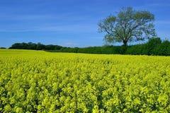 美好的开花的油菜籽风景 库存图片