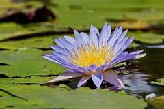 美好的开花的莲花拉特 水表面上的莲属 紫色荷花花卉生长在庭院池塘 免版税库存照片