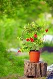 美好的开花的Dipladenia计划在五颜六色的庭院里 免版税库存图片