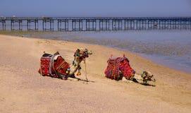 美好的惊人的自然背景 热带大海 红海 度假胜地 骆驼动物 新自由 冒险天 勒克斯 库存图片