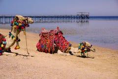 美好的惊人的自然背景 热带大海 红海 度假胜地 骆驼动物 新自由 冒险天 勒克斯 免版税库存照片