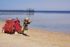 美好的惊人的自然背景 热带大海 红海 度假胜地 骆驼动物 新自由 冒险天 勒克斯 图库摄影