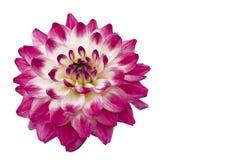 美好的接近的大丽花粉红色 库存照片