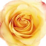 美好的接近的玫瑰色黄色 免版税库存图片