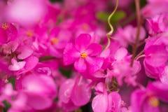 美好的接近的花粉红色 免版税库存图片
