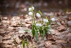 美好的新snowdrops在早期的春天 免版税库存图片
